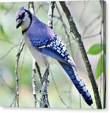 Beautiful Blue Jay Canvas Print by Paulette Thomas