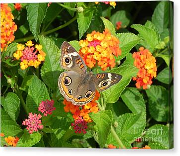 Beautiful Butterfly Canvas Print by Sandy Owens