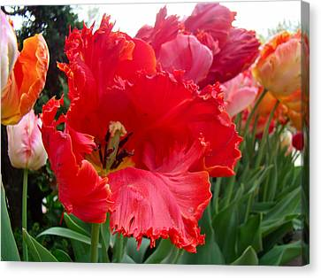 Beautiful From Inside And Out - Parrot Tulips In Philadelphia Canvas Print by Mother Nature