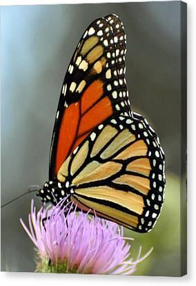 Beautiful Monarch Canvas Print by Marty Koch
