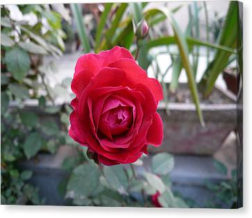 Beautiful Red Rose In A Small Garden Canvas Print by Ashish Agarwal