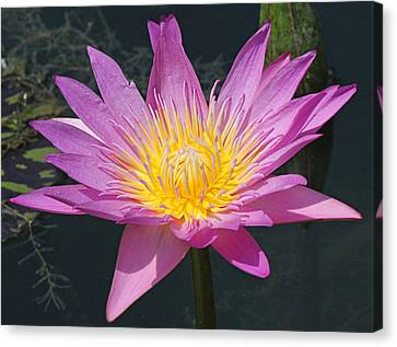 Beautiful Water Lily Canvas Print by Becky Lodes