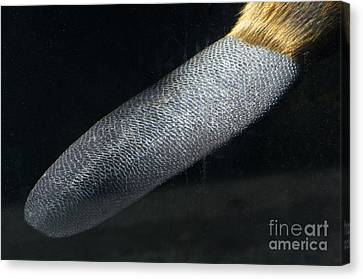 Beaver Tail Canvas Print by Sean Griffin