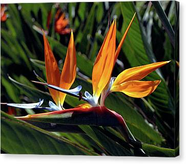 Bee And Bird Of Paradise Canvas Print by Kevin Smith