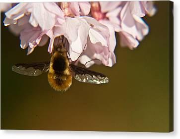 Bee Fly Feeding 5 Canvas Print by Douglas Barnett