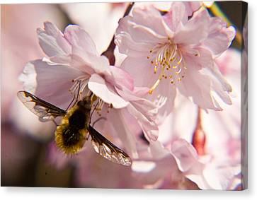 Bee Fly Feeding 6 Canvas Print by Douglas Barnett
