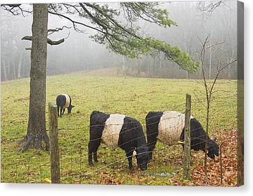 Belted Galloway Cows On Farm In Rockport Maine Photograph Canvas Print by Keith Webber Jr