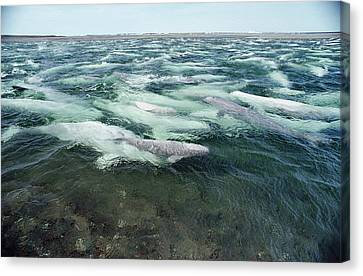 Belugas Swimming And Molting Canvas Print by Flip Nicklin