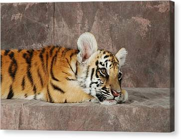 Bengal Cub Canvas Print by David Taylor