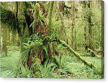 Bigleaf Maple Acer Macrophyllum Trees Canvas Print by Gerry Ellis