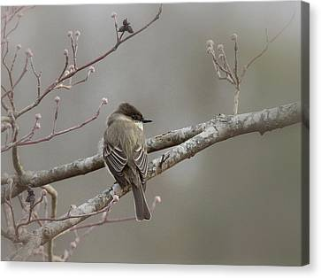 Bird - Eastern Phoebe - Very Contented Canvas Print by Travis Truelove