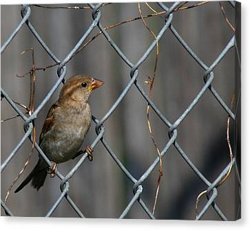 Bird In A Wire Canvas Print by Joe Wicks