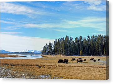 Bison Along Yellowstone River Canvas Print by Twenty Two North Photography