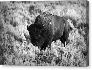 Bison In Black And White Canvas Print by Sebastian Musial