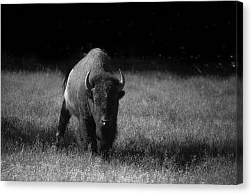 Bison Canvas Print by Ralf Kaiser