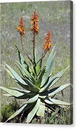 Bitter Aloe (aloe Ferox) Canvas Print by Bob Gibbons