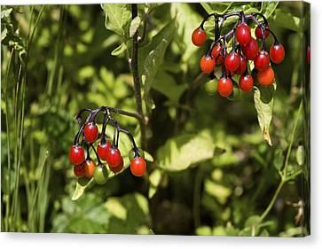 Bittersweet Berries (solanum Dulcamara) Canvas Print by Dr Keith Wheeler