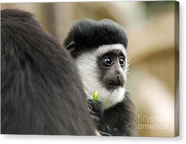 Black And White Colubus Monkey Canvas Print by Pete Reynolds