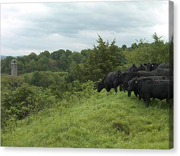Black Angus Cattle Canvas Print by Justin Guariglia