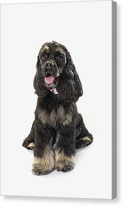 Black Cocker Spaniel With Golden Boots Canvas Print by Corey Hochachka