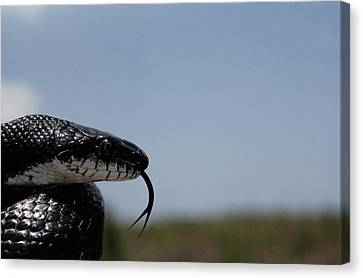Black King Snake Lampropeltis Getulus Canvas Print by Medford Taylor