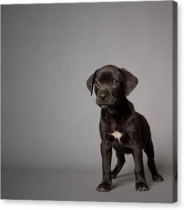 Black Puppy Canvas Print by Square Dog Photography