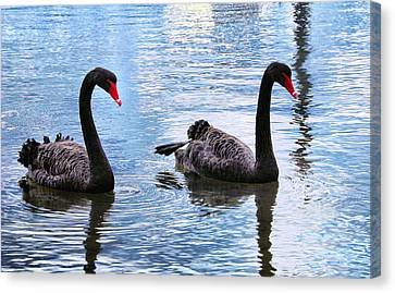 Black Swans Canvas Print by Imagevixen Photography