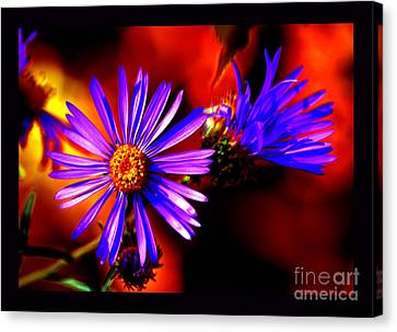 Blooming Asters Canvas Print by Susanne Still