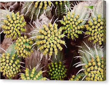 Blooming Cacti Canvas Print by Alexandra Jordankova
