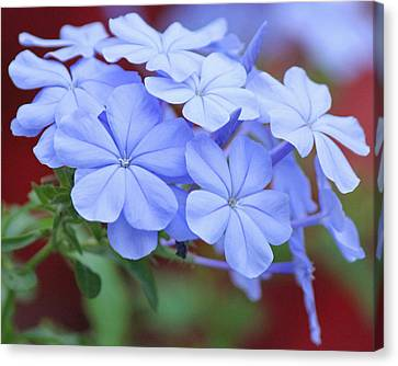 Blue Beauty Canvas Print by Becky Lodes