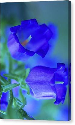Blue Bell Flowers Canvas Print by Kathy Yates
