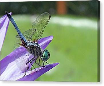 Blue Dasher Dragonfly Closeup Canvas Print by Becky Lodes