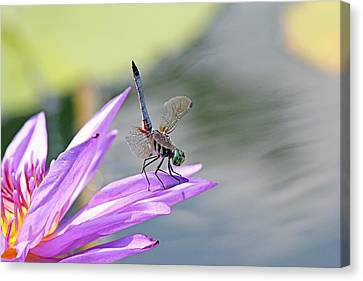 Blue Dasher Dragonfly Doing A Handstand Canvas Print by Becky Lodes