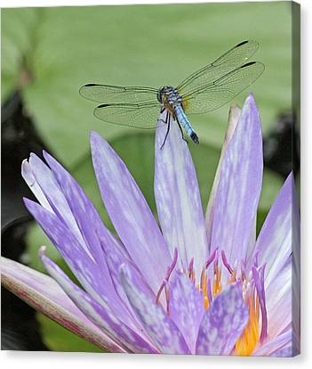 Blue Dasher Dragonfly On Waterlily Canvas Print by Becky Lodes