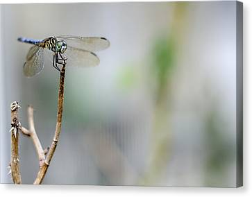 Blue Dragonfly Canvas Print by Heather Applegate