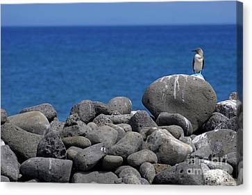 Blue-footed Booby On A Rock By Ocean Canvas Print by Sami Sarkis
