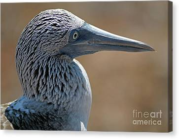 Blue-footed Booby Canvas Print by Sami Sarkis