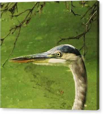 Blue Heron Canvas Print by Todd Sherlock
