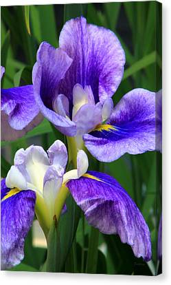 Blue Irises Canvas Print by Deborah  Crew-Johnson