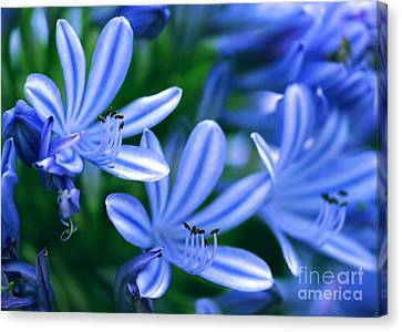 Blue Lily Of The Nile Canvas Print by Sabrina L Ryan