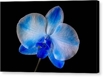 Blue Orchid Bloom Canvas Print by Susan Candelario