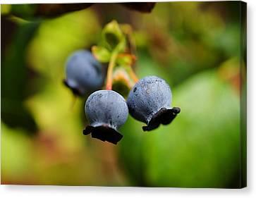 Blueberries Canvas Print by Beth Akerman