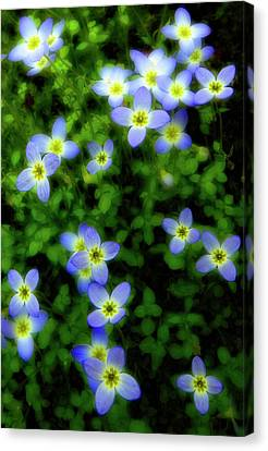 Bluets Canvas Print by Tony Gayhart
