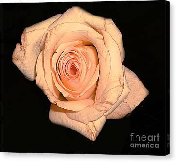 Blush Rose 2 Canvas Print by Merton Allen