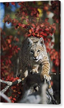 Bobcat Felis Rufus Walks Along Branch Canvas Print by David Ponton