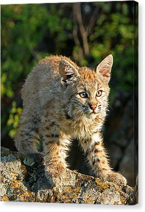 Bobcat Kitten Canvas Print by Denny Bingaman