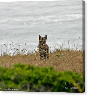 Bodega Bay Bobcat Canvas Print by Mitch Shindelbower