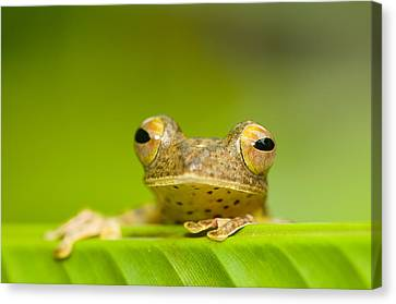 Borneo Red Flying Frog (rhacophorus Pardalis), Danum Valley, Primary Forest, Sabah, Borneo, Malaysia Canvas Print by Berndt Fischer