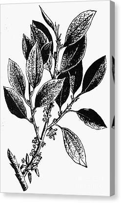Botany: Coca Shrub Canvas Print by Granger