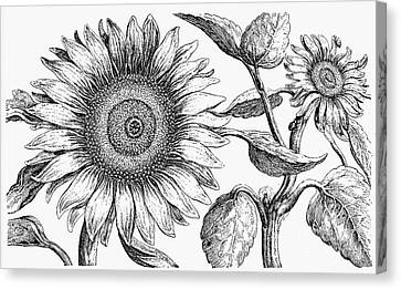 Botany: Sunflower Canvas Print by Granger